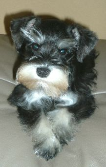 "Cute mini schnauzer puppy From your friends at phoenix dog in home dog training""k9katelynn"" see more about Scottsdale dog training at k9katelynn.com! Pinterest with over 19,900 followers! Google plus with over 133,000  views! You tube with over 400 videos and 50,000 views!! Serving the valley for 11 plus years"