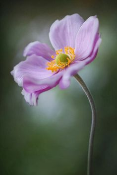 ~~Japanese Anemone by Mandy Disher~~