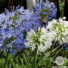 Balcon : Agapanthe — Plante vivace, moyennement rustique, aux racines charnues, formant une touffe aux feuilles en rubans allongés, rigides, vert foncé. Fleurs groupées en ombelles globuleuses à l'extrémité de hampes verticales, bleues ou blanches selon variété