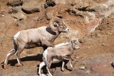 Rocky Mountain Bighorn Sheep Ram Horn Curl Wild Free Wilderness Mountains Mammal Animal Fine Art Nature Wildlife Photography Cat Pentescu by ImagesByCat on Etsy