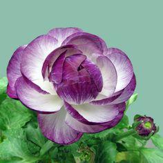 Ranunculous. what a beautiful purple 0_0