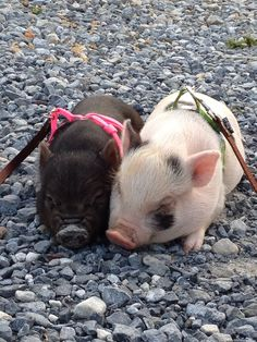 Penelope our family mini pig with her brother .