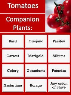Companion Plants for Tomatoes can decrease pests and increase yields of certain varieties, with a bit of wise understanding of the associative needs of ones vegatable plants.