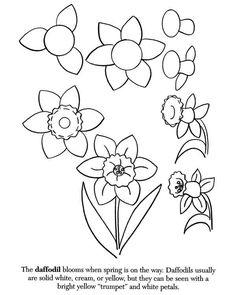how to draw a daffodill
