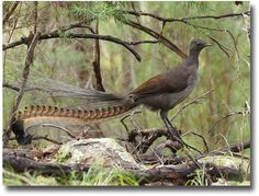 Australia's legendary Lyrebird showing off his beautiful plumage compliments of http://www.flickr.com/photos/kookr/5875835739/