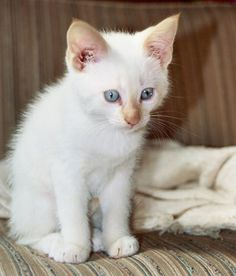 White flame point siamese kitten - love these kinds of kittens used to have some like this.