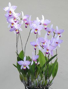 Laelia anceps 'Bright Eyes' | Flickr - Photo Sharing!