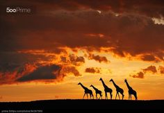5 giraffes by Muriel Vekemans