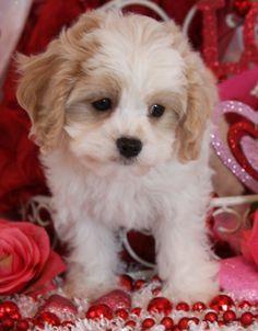 Available Cavachon Puppies | Foxglove Farm