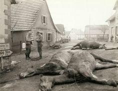1944 Troops string wire past 4 dead German artillery horses which were killed along with 5 German soldiers when an American artillery burst caught them as the horses were being hitched on Dec 14th
