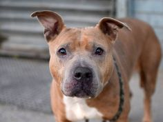 TO BE DESTROYED 11/26/14- Brooklyn Center   My name is MAMAS. My Animal ID # is A1021043. I am a female brown and white pit bull mix. The shelter thinks I am about 6 YEARS old.  I came in the shelter as a STRAY on 11/18/2014 from NY 11691, owner surrender reason stated was OWNER DIED