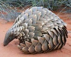 Endangered Pangolin - he looks like artichokes