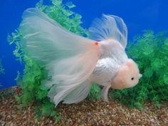 ruffle tail Comet Goldfish, Oranda Goldfish, Freshwater Aquarium Fish, Aquarium Fish Tank, Goldfish Types, Fishing Nursery, Aqua Culture, Golden Fish, Cool Fish