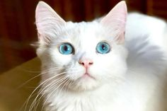 Buttercup is an adoptable Ragdoll searching for a forever family near La Jolla, CA. Use Petfinder to find adoptable pets in your area.