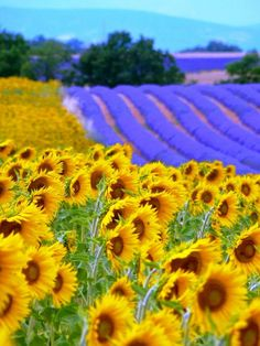 Beautiful . . . . Sunflowers and lavender