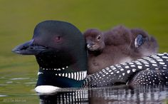 The loons chick got tired and leaned on mom's neck.