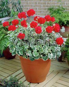 29 pretty front door flower pots for a good first impression 00026 Balcony Plants, Garden Planters, Container Plants, Container Gardening, Gardening Tips, My Flower, Flower Pots, Purple Petunias, Lawn And Landscape
