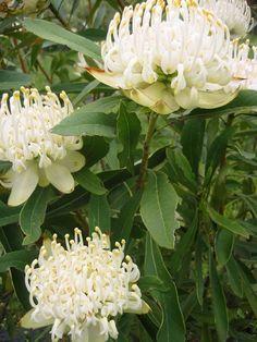 white waratah - white queen of Australian bush Australian Wildflowers, Australian Native Flowers, Australian Plants, Australian Bush, Unusual Flowers, White Flowers, Beautiful Flowers, Faux Flowers, Waratah Flower