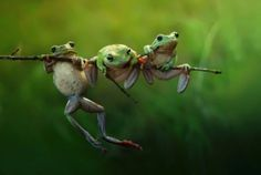 BORNEO, INDONESIA: THREE CRAZY frogs look like they are competing to perform pull-ups on a tree branch. From clambering over each other on flower buds to dangling precariously from leaves these tree frogs will do just about anything in their quests to eat, sleep and find a mate. Government officer and amateur nature photographer Harfian Herdi (27) took the side-splitting pictures when he was out walking in a forest next to his home in the Sambas region of Indonesian Borneo.