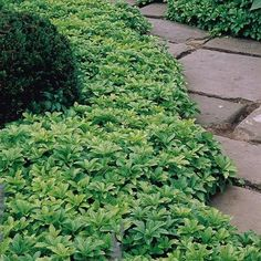 Pachysandra terminalis, evergreen ground cover for complete shade, in woodland garden, or side of fruit garden.