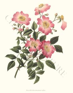 'Rosa wichuraiana rubra' restored antique illustration - via Charting Nature.