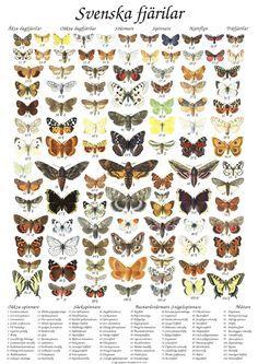 Svenska fjärilar - poster plansch