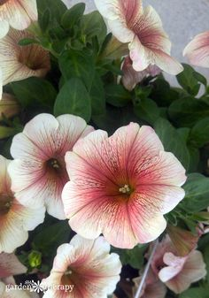 Modern Petunia Varieties: No Longer Just the Pinkest Pink Flower - Garden Therapy® Container Gardening Vegetables, Succulents In Containers, Container Flowers, Container Plants, Vegetable Gardening, Exotic Flowers, Purple Flowers, Beautiful Flowers, Yellow Roses