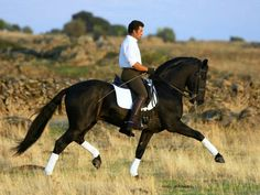 Bay Lusitano Stallion