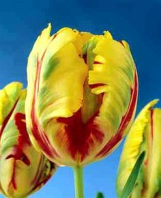 Texas Flame Tulip Bulbs are from the Parrot genus and give a rich, varied flaming colour throughout May to really enhance any border.