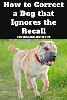 Dog Training Chewing Is Your Dog Ignoring Your Recall? Heres How to Correct It. Training Chewing Is Your Dog Ignoring Your Recall? Heres How to Correct It. Dog Training Courses, Puppy Training Tips, Best Dog Training, Training Classes, Potty Training, Training Pads, Training Schedule, Brain Training, Easiest Dogs To Train