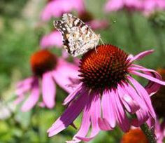 Raising The Echinacea Herb In Your Herb Garden For Use In Herbal Medicine