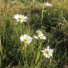 ox eye daisies in july - who loves this country wild flower best?