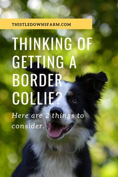 Border Collies are a truly unique breed of dog that require special consideration before deciding to add one to your family. Check this article out to learn more! | Learn More About Border Collies at ThistleDownsFarm.com #bordercollies #farmdog #farming Border Collie Puppies, Collie Dog, Border Collies, Collie Breeds, Mountain Dogs, Bernese Mountain, Raising Farm Animals, Search And Rescue Dogs, Farm Dogs