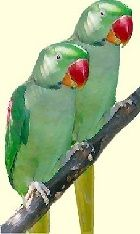 Wild ( Alexandrine Parakeets ) parrots in England, who knew?