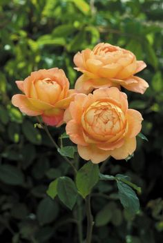 English Roses The Lady of Shalott English Rose - Be the first on your block to grow these new roses that are easy to care for, offer sweet fragrances, and make beautiful cut flowers.