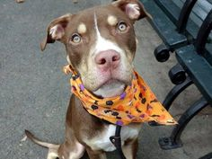TO BE DESTROYED - 10/19/13 Manhattan Center - P~SWISS~ ID # is A0981651.I am a male chocolate am pit bull ter mix. The shelter thinks I am about 8 MONTHS old. I came in the shelter as a STRAY on 10/10/2013 male chocolate am pit bull 8 MONTHS old. 40.2lbs Swiss is great on leash, & did a GREAT JOB on his behavior assessment!   PLEASE At only 8 months old, Swiss is already facing the toughest challenge of his young life - how to survive the high-kill ACC.