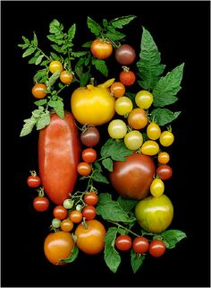 Heirloom Tomatoes 3 - Scanner Photography By Ellen Hoverkamp