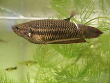Bettas, aka as Siamese Fighting fish, started out rather plain like this wild type female.