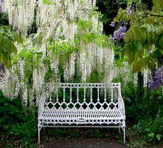 hidcote manor white wisteria kandy-sweet - laurel home Beautiful Gardens, Beautiful Flowers, White Flowers, Fresco, Landscape Design, Garden Design, Manor Garden, Garden Park, White Wisteria
