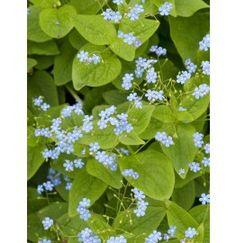 Vergeet-Mij-Niet (Brunnera Macrophylla)