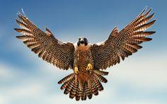 Peregrine falcon (Falco peregrinus) - Pesquisa Google.