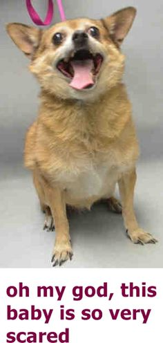 SAFE 11-1-2016 by Zani's Furry Friends Pet Rescue --- SUPER URGENT Brooklyn Center GIGI – A1094889  SPAYED FEMALE, TAN / WHITE, CHIHUAHUA SH MIX, 8 yrs OWNER SUR – EVALUATE, NO HOLD Reason NO TIME Intake condition UNSPECIFIE Intake Date 10/27/2016 http://nycdogs.urgentpodr.org/gigi-a1094889/