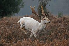 ~ Linda Priestley's Photography - White Fallow Deer Running