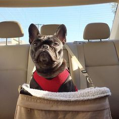 Make a right here dad, the parks over there , #backseatdriver #dowhatisay #ofcourseimright #imalwaysright, Bradley Bear, the French Bulldog, @itsbradleybear on instagram