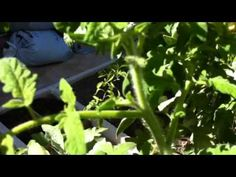 La poda del tomate   PlanetaHuerto.es - YouTube