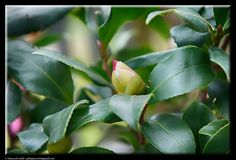 The bud of the Camellia by Giancarlo Gallo