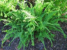 Fun Ferns(Starting With The Letter A) - Various kinds are shown on this page. This is the 'Dre's Dagger' lady fern (Athyrium filix-femina). / Rotary Botanical Gardens Hort Blog