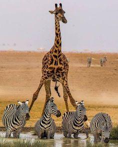 Giraffe and Zebras – Cute Animals Giraffe Neck, Cute Giraffe, Nature Animals, Animals And Pets, Cute Animals, African Animals, African Safari, Beautiful Creatures, Animals Beautiful