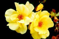 'Carefree Sunshine' rose