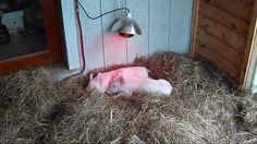 Raising Backyard Pigs - Part 1